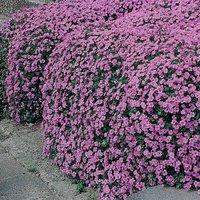 Aubrieta cultorum 'Cascade Purple'