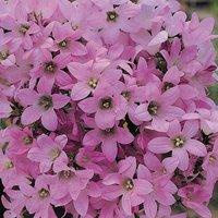 Campanula lactiflora