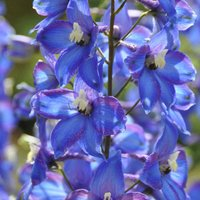 Delphinium 'Blue Bird' (Pacific Hybrid)