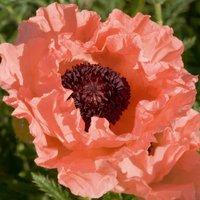 Poppy 'Prinzessin Victoria Louise'