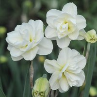 Daffodil 'Rose of May Improved'