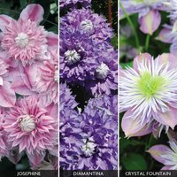 Clematis 'Fantasy Collection'