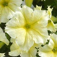 Petunia 'Express Mellow Yellow'