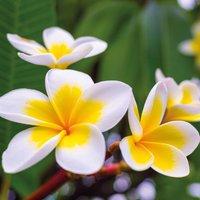 Plumeria 'Yellow'