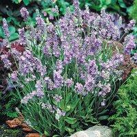 Lavender Ellagance Sky