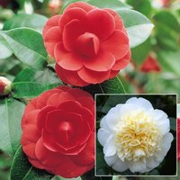 Camellia Duo Collection