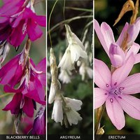 Dierama Collection