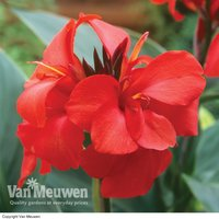 Canna x generalis 'Cannova Red'