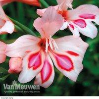 Gladiolus 'Impressive'