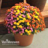 Chrysanthemum 'Hardy Patio Improved'