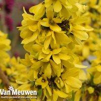 Forsythia x intermedia 'Mini Gold' (Dwarf)