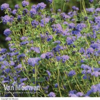 Ageratum 'Everest Blue' (Garden Ready)