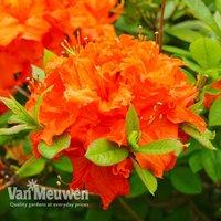 Azalea 'Dwarf Orange'