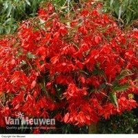 Begonia 'Inferno'