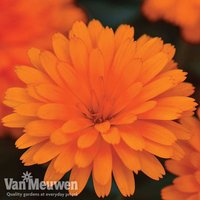 Calendula 'Power Daisy Orange'