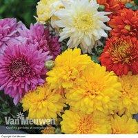 Chrysanthemum 'Decorative'