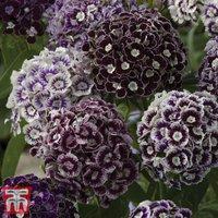 Dianthus barbatus  Purple Crown