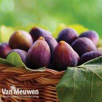 Fig Violette de Bordeaux