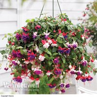 Fuchsia Trailing Pre-Planted Hanging Basket