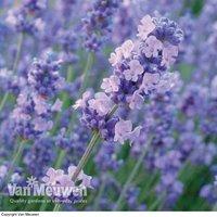 Lavender Melissa Lilac