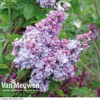 Lilac Katherine Havemeyer (Large Plant)
