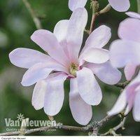 Magnolia stellata Rosea (Large Plant)