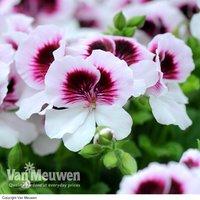 Pelargonium mosquitaway
