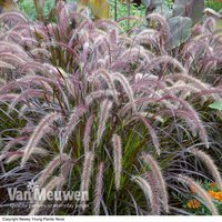 Pennisetum x advena