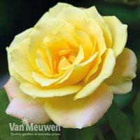 Rose Laura Ford (Climbing Rose)