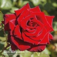 Rose Love Knot (Climbing Rose)