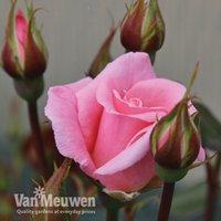 Rose Star Performer (Climbing Rose)