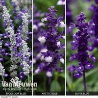 Salvia x Farina collection