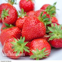 Strawberry 'Malling Centenary'