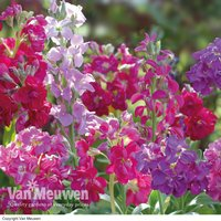 Stock 'Tall Clove Scented Mix'