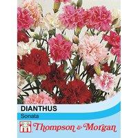 Dianthus plumarius Sonata