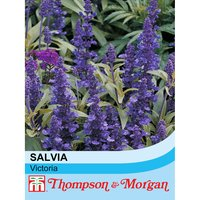 Salvia farinacea Victoria