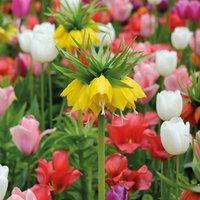 Tulip & Fritillaria Bulb Mix