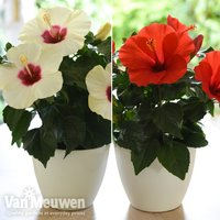 Hibiscus Adonicus Duo Collection