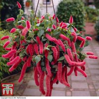 Red-Hot Cats Tail (House Plant Seeds)