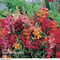 Antirrhinum 'Frosted Flames' (Seeds)