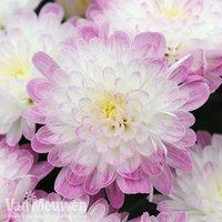 Chrysanthemum 'Improved Appleblossom'