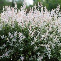 Salix integra Hakuroand#45;nishiki