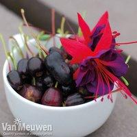 Fuchsia FUCHSIABERRY