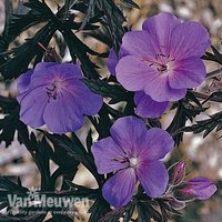 Geranium Purple Haze (Seeds)