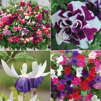 Petunia and Fuchsia Lucky Dip Collection