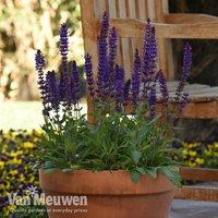 Salvia nemorosa Salvatore Deep Blue
