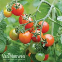 Tomato Losetto (Seeds)