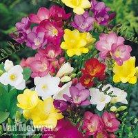 Freesia Bulbs (single flowered)