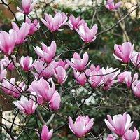 Magnolia Heaven Scent(Large Plant)