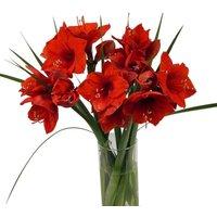 Velvet Red Amaryllis